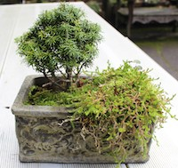 Abies lasiocarpa 'DuFlon' (dwarf subalpine fir)