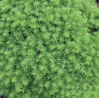 Picea abies 'Little Gem'