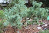Pinus pumila (Siberian Dwarf White Pine) Japan