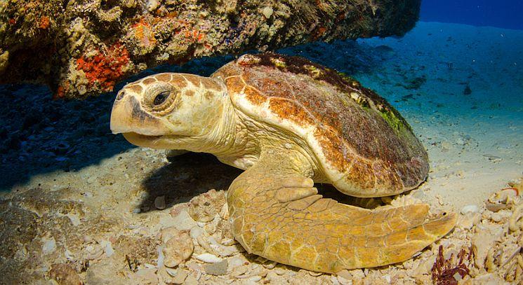 the endangered Mediterranean loggerhead turtle, (Caretta caretta).