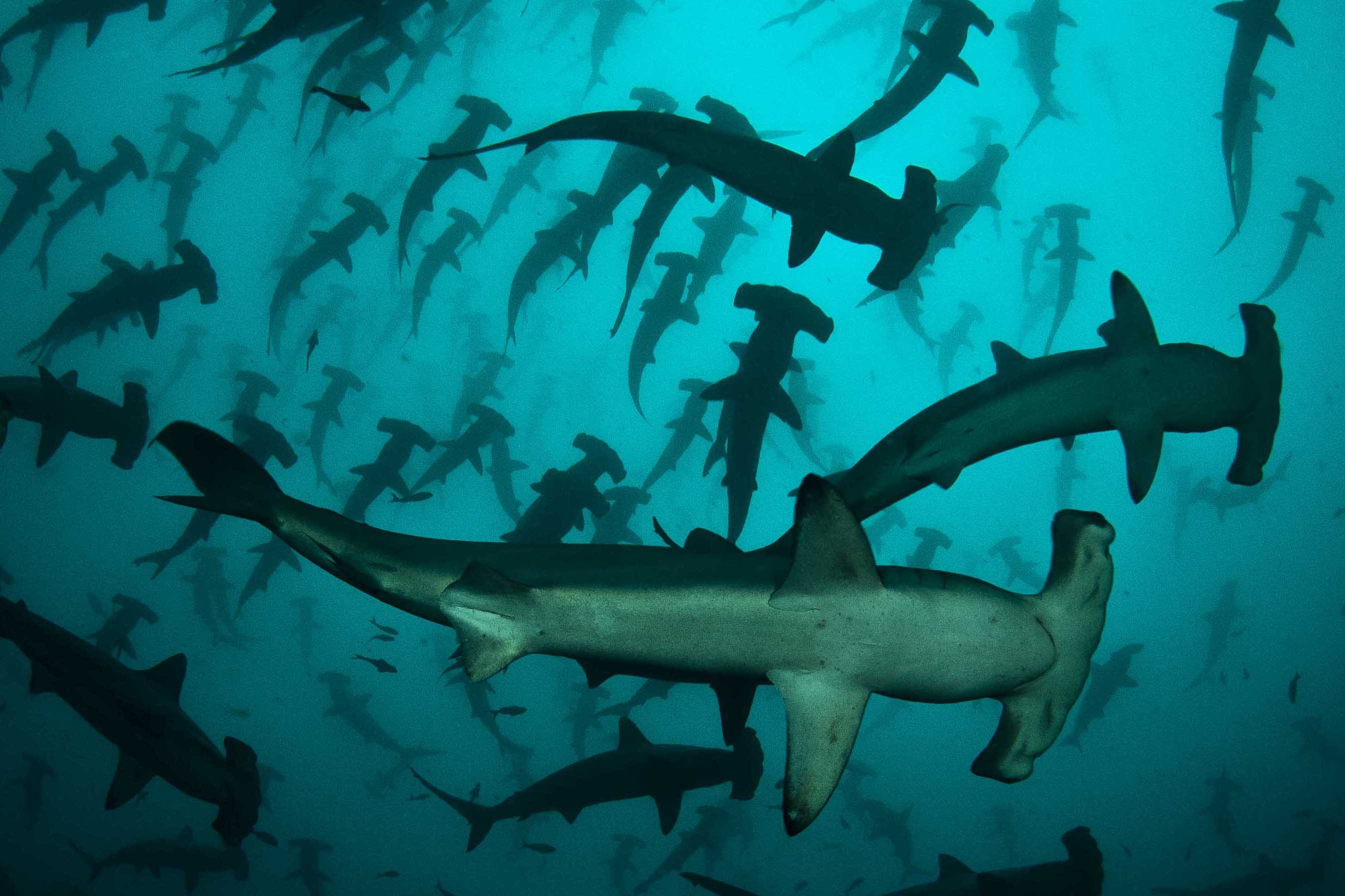 Diving with Schools of Hammerhead Sharks in Cocos Island (Image Dive and Boats)